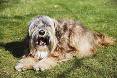 Male Tibetan Terrier. Lying in the grass Royalty Free Stock Photography