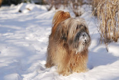 Male Tibetan Terrier. In the snow Stock Images