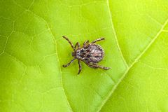Male Tick Meadow Dermacentor reticulatus. Tick Meadow and green leaf background Stock Image