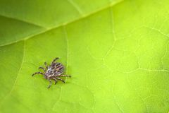 Male Tick Meadow Dermacentor reticulatus. Tick Meadow and green leaf background Stock Photos