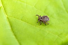 Male Tick Meadow Dermacentor reticulatus. Tick Meadow and green leaf background Stock Images