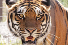Male Tiger. Angry male Siberian tiger with narrow yellow eyes Royalty Free Stock Photo