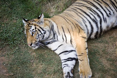 Male tiger. Resting in a zoo Stock Photos