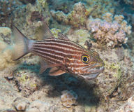 Male tiger cardinalfish on a tropical reef. Male tiger cardinal fish cheilodipterus macrodon incubating eggs in mouth on tropical coral reef Stock Photo