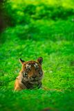 A male tiger cub sighted in monsoon when forest is like green carpet at Ranthambore Tiger Reserve stock image