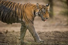 A male tiger cub on a stroll in evening light at Ranthambore National Park. India royalty free stock photos