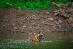 Male tiger cubs with reflection at Ranthambore Tiger Reserve, India royalty free stock photos