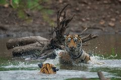 Male tiger cubs with reflection at Ranthambore Tiger Reserve, India stock images
