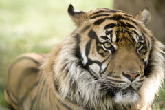 Male tiger head portrait Stock Image