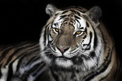 Male Tiger. A male tiger looks into the afternoon sun Royalty Free Stock Photo