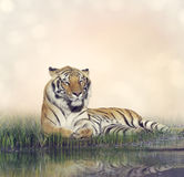 Male Tiger Resting. Tiger Resting Near a Pond Royalty Free Stock Image