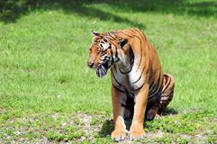 Male tiger sitting & growling. Tiger with mouth open in Zoo Miami, South Florida Stock Photography