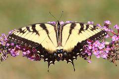 Male Tiger Swallowtail (papilio glaucas) Stock Photos