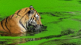 Male tiger swimming in duckweed. Male tiger swimming in green duckweed Stock Images