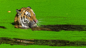 Male tiger swimming. In green duckweed Stock Image