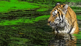 Male tiger swimming in green duckweed. Seen from above Royalty Free Stock Photo