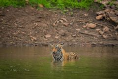 A Male tiger swimming in a lake water royalty free stock images