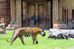 Male tiger walking by building. Male tiger walking in front of a building in Zoo Miami, South Florida stock photos