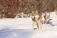 Male timber wolf Royalty Free Stock Photography