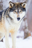 Male timber wolf. Standing in snow in forest Stock Photo