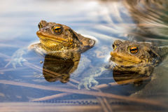 Male toads in water, Bufo bufo. The males waiting for the females Royalty Free Stock Images