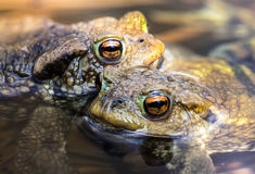 Male toads in water, Bufo bufo. The males waiting for the females Royalty Free Stock Photo