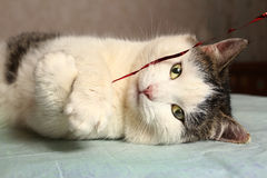 Male tom cat playing with red ribbon Royalty Free Stock Photo
