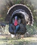 Male Tom turkey with full plumage Royalty Free Stock Image