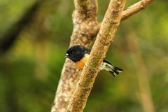 Male tomtit, South Island subspecies, native New Zealand bird sitting in tree on Bluff Hill.  stock photo