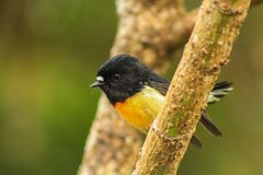 Male tomtit, South Island subspecies, native New Zealand bird sitting in tree on Bluff Hill.  royalty free stock images