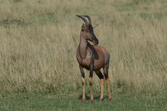 Male Topi grazing African plains. A curious Male Topi grazing the plains of Africa Stock Photography