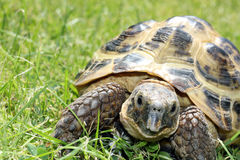 Male Tortoise in shell facing camera. Adult Tortoise in green grass facing camera Stock Image