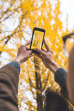 Male tourist holding smartphone taking photo of ginkgo leaf in a. Utumn urban park Royalty Free Stock Photo