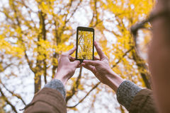 Male tourist holding smartphone taking photo of ginkgo leaf in a. Utumn urban park Royalty Free Stock Image
