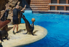 Male trainer shows a representation with the seals Spain, Tener. Spain, Tenerife - 13/09/2016: Show of trained seals in the Loro Parque Stock Image