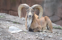 MALE TRANSCASPIAN URIAL Royalty Free Stock Image