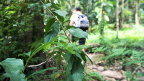 Male Traveler Hiking in Tropical Rainforest. Caucasian Man Living Active Lifestyle. Defocused Shot stock video footage