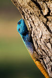Male tree agama. A brightly coloured male tree agama gripping the bark of a tree Stock Image