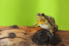 Male tree frog singing. On a wood stump  Hyla arborea Stock Photos