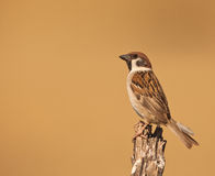Male Tree Sparrow Royalty Free Stock Image