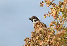 Male tree sparrow on the wild grass. Portrait with blue sky Stock Images