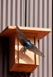 Male Tree Swallow. (Tachycineta bicolor) lands at bird house to feed youngs Stock Images