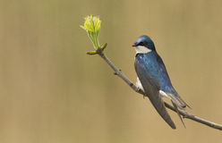 Male Tree Swallow Stock Photo