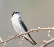 Male Tree Swallow. A Male Tree Swallow watches the entrace to his nest Royalty Free Stock Images