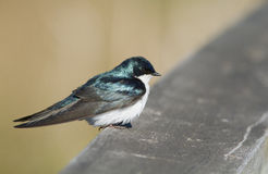 Male Tree Swallow Stock Images