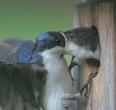Male Tree Swallow Feeding Baby. Male Tree Swallow feeding his baby in a next box birdhouse Stock Photos
