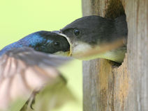 Male Tree Swallow Feeding Baby Royalty Free Stock Photography