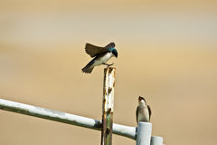 Tree Swallow. Stock Photo