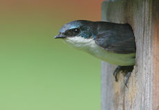 Male Tree Swallow in a Nest. Male Tree Swallow sticking his head out of a nest box bird house Stock Photography