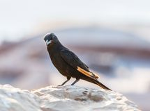 The male Tristram long-tailed starling sits on a stone on the ruins of the Masada fortress in the Judean desert in Israel and is l. Ooking for prey stock photo